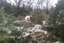 Cabras en la nieve